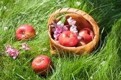 Manzanas en cesta en hierba verde Imágenes de archivo libres de regalías