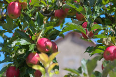 Manzanas en cierre del árbol para arriba Fotos de archivo libres de regalías