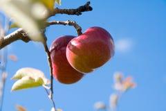 Manzanas en el árbol imagenes de archivo