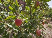 Manzanas en el árbol Fotos de archivo libres de regalías