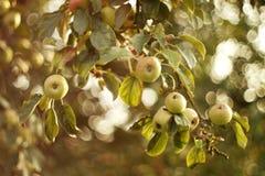 Manzanas en el árbol Foto de archivo libre de regalías