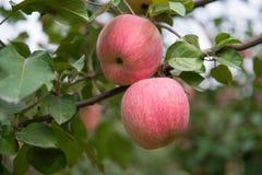 Manzanas en el árbol Fotos de archivo
