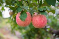 Manzanas en el árbol Imagen de archivo libre de regalías