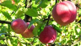 Manzanas en el árbol Ramifique con las manzanas en el árbol Manzanas rojas en el sol Cuatro manzanas en ramas Vista cercana de la almacen de video