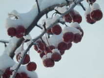 Manzanas en el frío Imagen de archivo libre de regalías