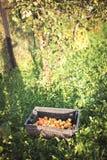 manzanas en el jardín en otoño Imagen de archivo libre de regalías