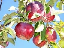 Manzanas en el sol Foto de archivo libre de regalías