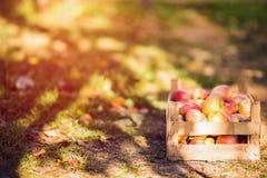 Manzanas en fondo del cajón de madera fotografía de archivo