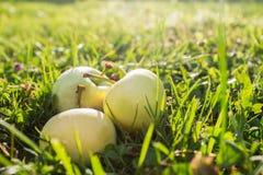 Manzanas en hierba Fotos de archivo libres de regalías