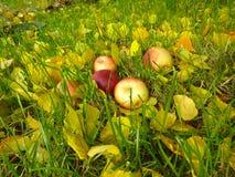 Manzanas en hierba Imágenes de archivo libres de regalías
