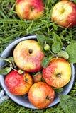 Manzanas en hierba de la mañana Fotografía de archivo