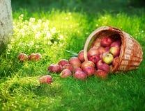 Manzanas en huerta Fotografía de archivo