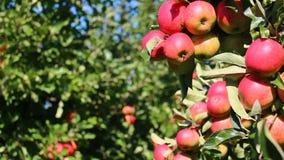 Manzanas en huerta almacen de video