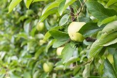 Manzanas en huertas de la montaña de Italia Imagen de archivo libre de regalías