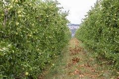 Manzanas en huertas de la montaña de Italia Fotos de archivo libres de regalías