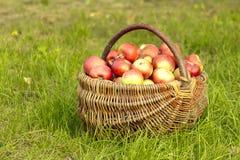 Manzanas en la cesta Fotos de archivo libres de regalías