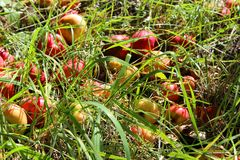 Manzanas en la hierba Fotos de archivo libres de regalías