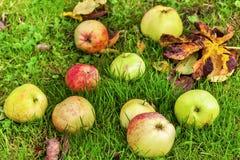 Manzanas en la hierba con las hojas de otoño Foto de archivo libre de regalías
