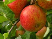 Manzanas en la huerta Imagen de archivo libre de regalías