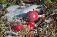 Manzanas en la nieve Imagen de archivo libre de regalías