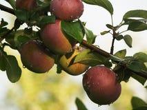 Manzanas en la rama foto de archivo libre de regalías
