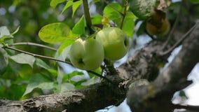 Manzanas en la rama del manzano almacen de metraje de vídeo