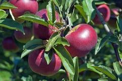 Manzanas en la ramificación Fotos de archivo