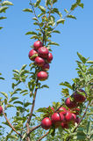 Manzanas en la ramificación Imagen de archivo libre de regalías