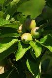 Manzanas en la ramificación de árbol Foto de archivo