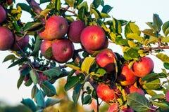Manzanas en la ramificación Foto de archivo