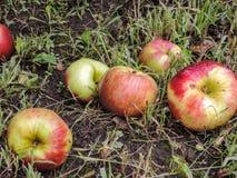 Manzanas en la tierra en la hierba Fotos de archivo libres de regalías