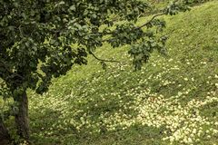 Manzanas en la tierra en otoño Fotos de archivo libres de regalías