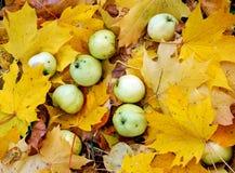 Manzanas en las hojas de arce foto de archivo libre de regalías