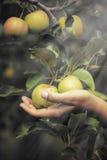 Manzanas en manos femeninas en el jardín Fotos de archivo