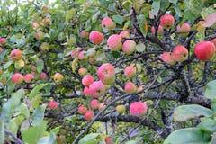Manzanas en manzano Foto de archivo