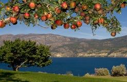 Manzanas en paraíso Foto de archivo