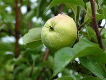 Manzanas en un árbol imagenes de archivo