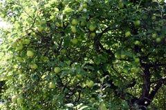 Manzanas en un árbol Fotos de archivo libres de regalías