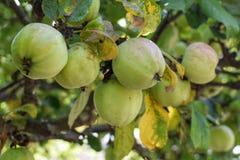 Manzanas en un árbol Fotos de archivo