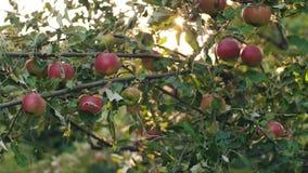 Manzanas en un árbol en la puesta del sol