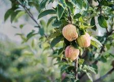 Manzanas en un árbol en una huerta Imágenes de archivo libres de regalías