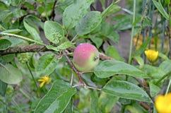 Manzanas en un cierre de la rama para arriba fotos de archivo