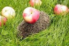 Manzanas en un erizo Fotografía de archivo libre de regalías