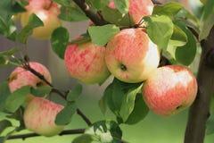 Manzanas en un manzana-árbol. Fotografía de archivo
