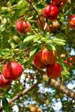 Manzanas en un manzano Imagen de archivo libre de regalías