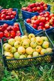 Manzanas en un rectángulo Foto de archivo