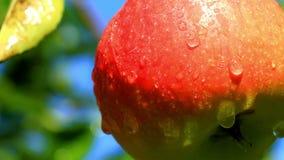 Manzanas en una rama.