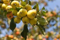Manzanas en una rama Imagen de archivo libre de regalías