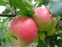 Manzanas en una rama Foto de archivo