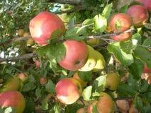 Manzanas en una rama Fotos de archivo